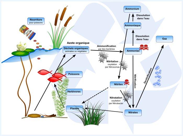 bassin de jardin l 39 entretien comprendre le cycle de l 39 azote