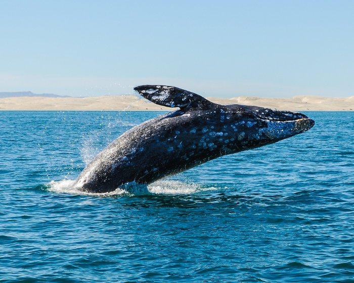 Bio marine, les cétacés, la baleine grise