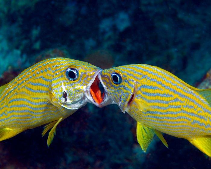 La flore et la faune sous marines poisson gorette jaune for Interieur de la bouche
