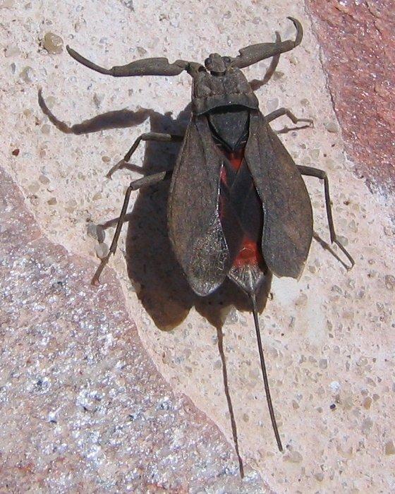 Bassin De Jardin Les Insectes La N 232 Pe Ou Le Scorpion D Eau