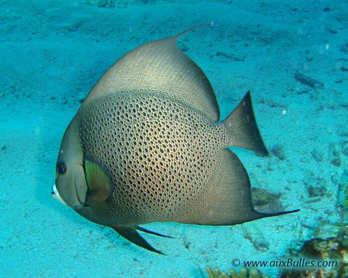 La flore et la faune sous marines poisson ange gris for Nom poisson rouge