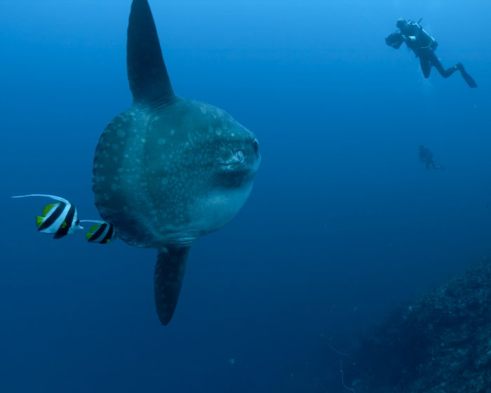Life history of the ocean sunfish, Poisson lune (france) (meaning ...