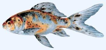 Bassin de jardin les poissons les vari t s de poisson for Entretien bassin poisson rouge