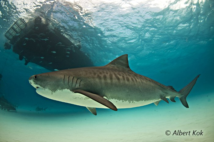 La Flore Et La Faune Sous Marines Requin Tigre Galeocerdo Cuvier
