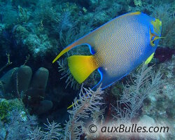 Poisson ange royal (Holacanthus ciliaris)