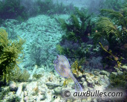 Poisson coffre graffitis (Acanthostracion quadricornis)