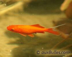 Bassin de jardin les poissons le poisson rouge commun for Elevage poisson rouge