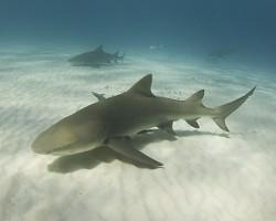Le requin citron a la particularité de disposer de 2 nageoires dorsales sensiblement de la même taille !