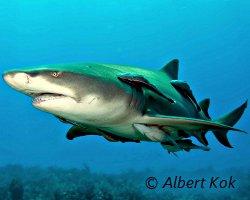 Le requin citron en fidèle compagnie de rémoras !