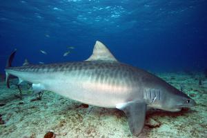 Le requin tigre
