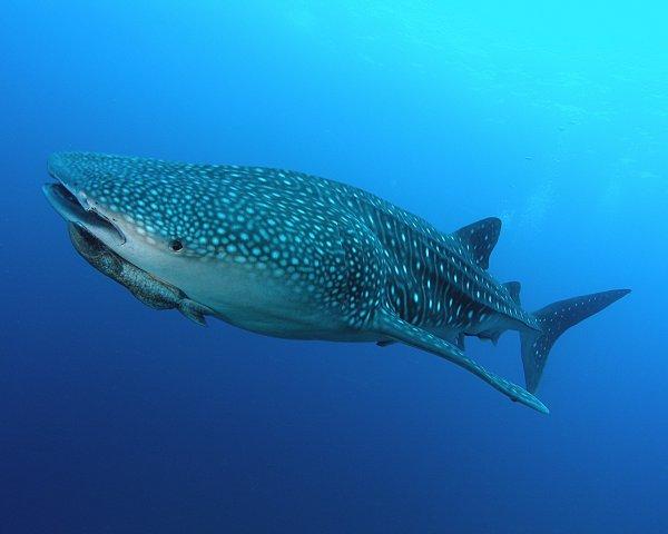 """Résultat de recherche d'images pour """"requin baleine australie"""""""