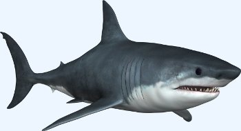 Le grand requin blanc (Carcharodon carcharias)
